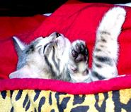 bengal Kittens For Sale in New mexico