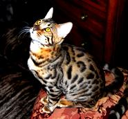 BENGAL BREEDER IN NEW MEXICO
