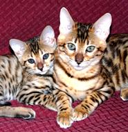 Kittens for Sale, Buy a Kitten, Purchase a Kitten, Buy a Bengal