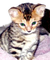 New Bengal Cats and Kittens