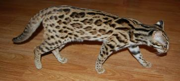 Foundation Bengals, Bengal Cat Photos, Bengal Breeder